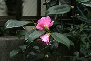 tsubaki2012.jpg